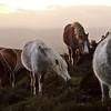 Wild ponies on the Longmynd.