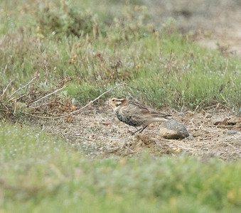Chestnut-collared  Longspur Mission Bay 2021 -218.CR3