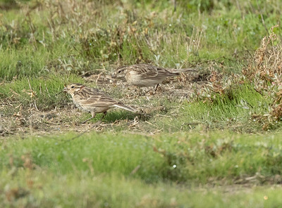 Chestnut-collared  Longspur Mission Bay 2021 -220.CR3