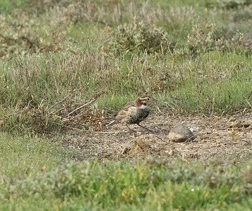 Chestnut-collared  Longspur Mission Bay 2021 -216.CR3