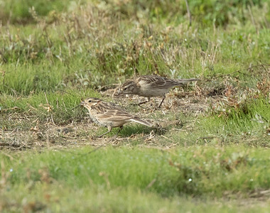 Chestnut-collared  Longspur Mission Bay 2021 -221.CR3