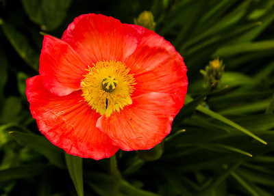 Poppy. Longwood Gardens, Kennett Square, Pennsylvania