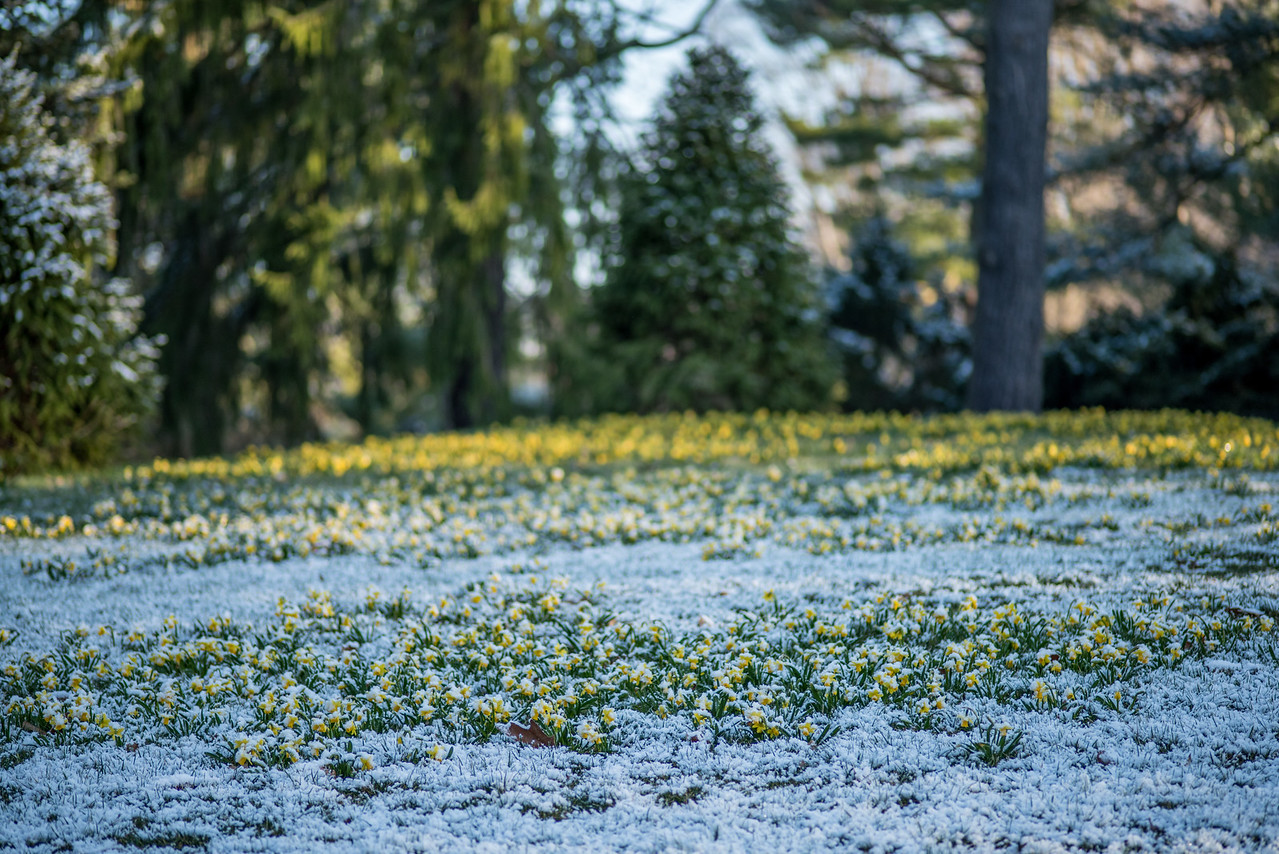3-21-16 Longwood Bulbs & Snow-21