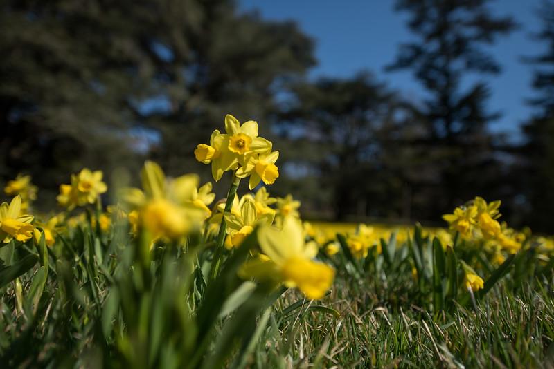 3-22-16  Tete a Tete Daffodils - Longwood Gardens-306