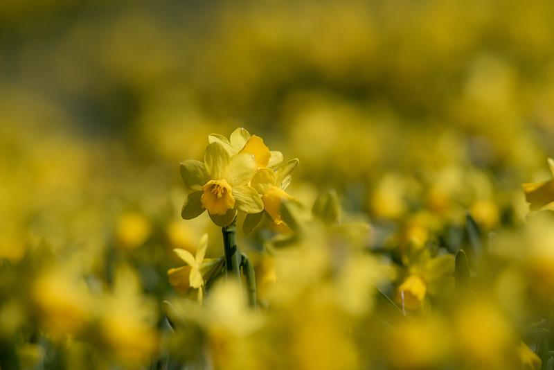 3-22-16  Tete a Tete Daffodils - Longwood Gardens-342