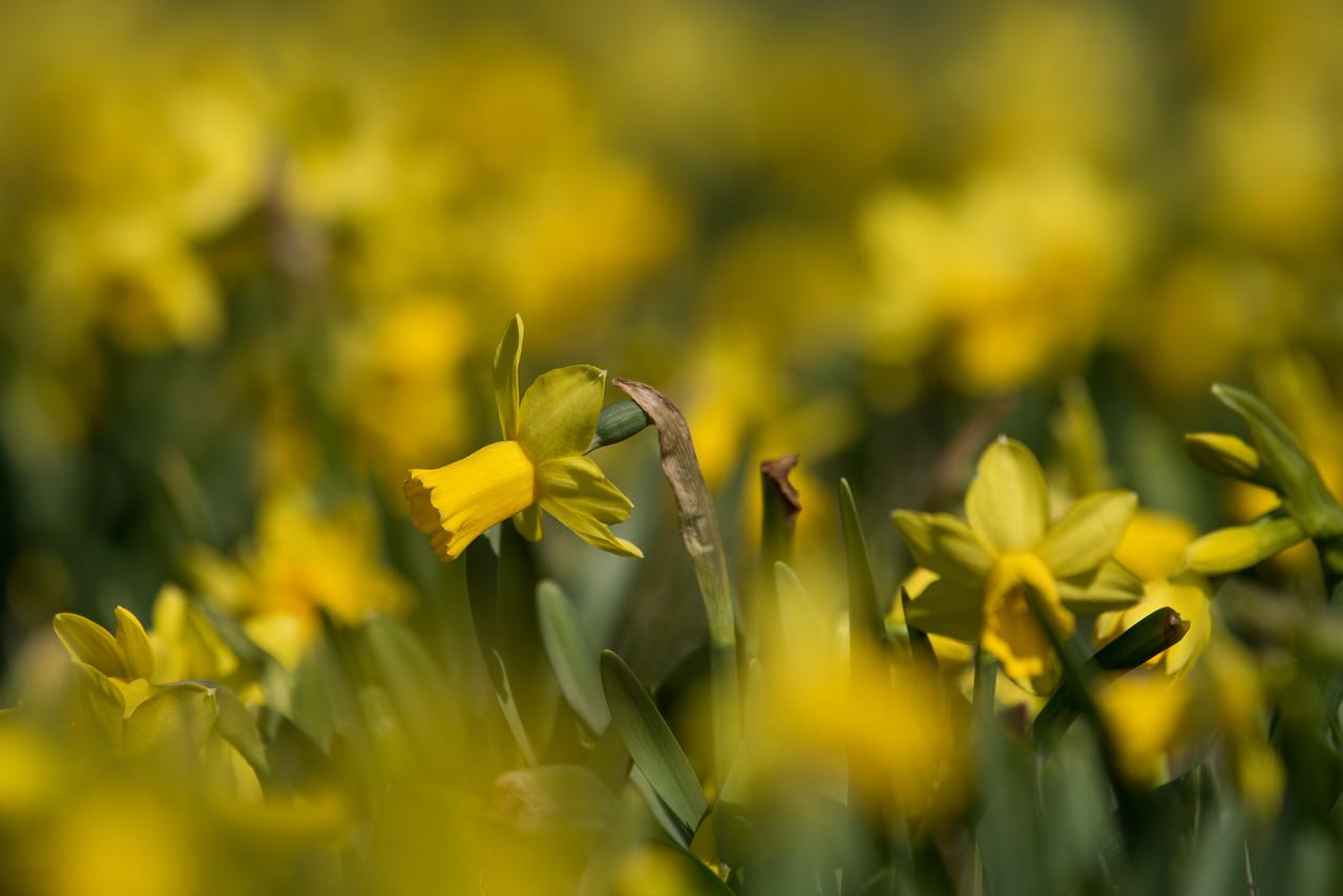 3-22-16  Tete a Tete Daffodils - Longwood Gardens-332
