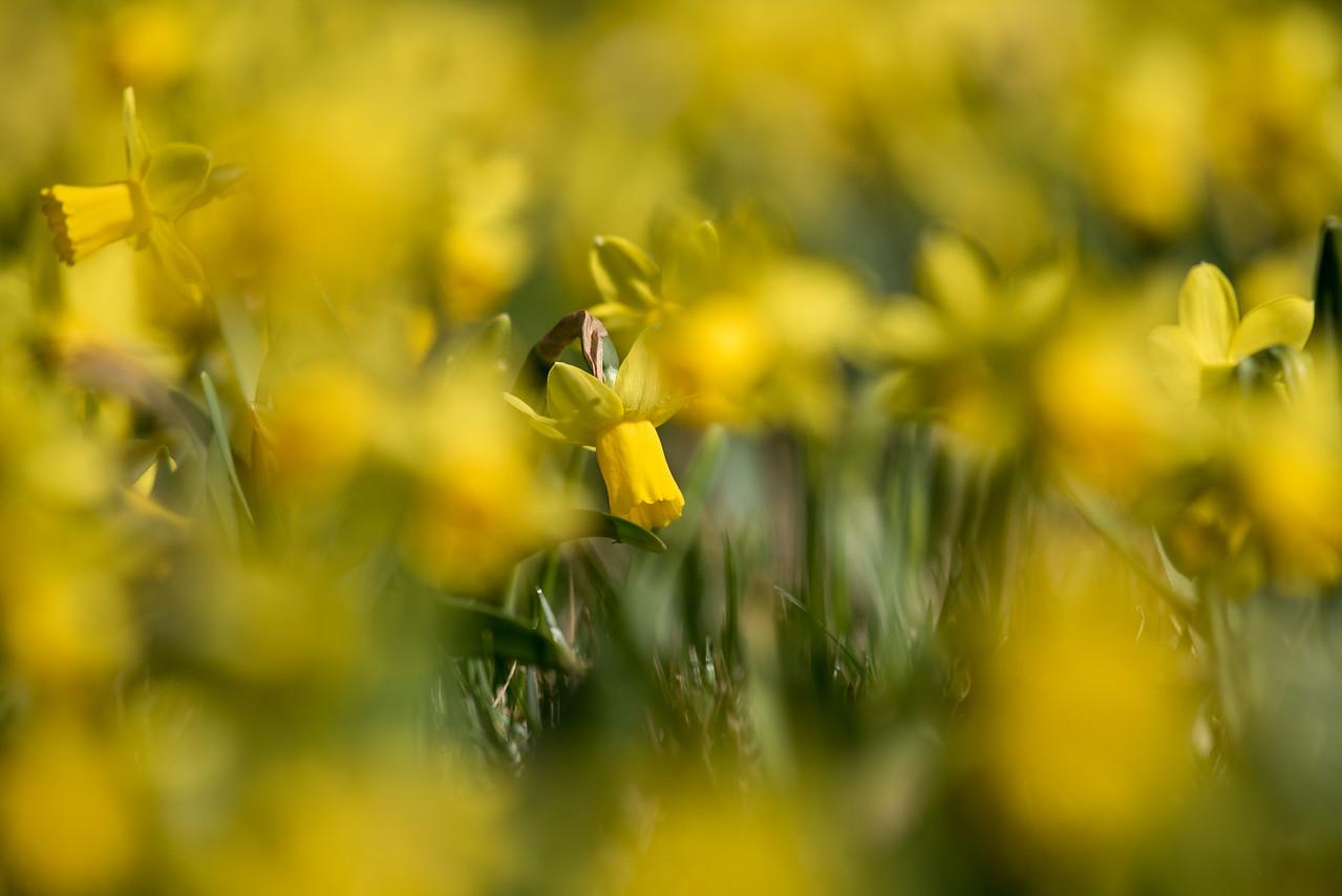 3-22-16  Tete a Tete Daffodils - Longwood Gardens-317