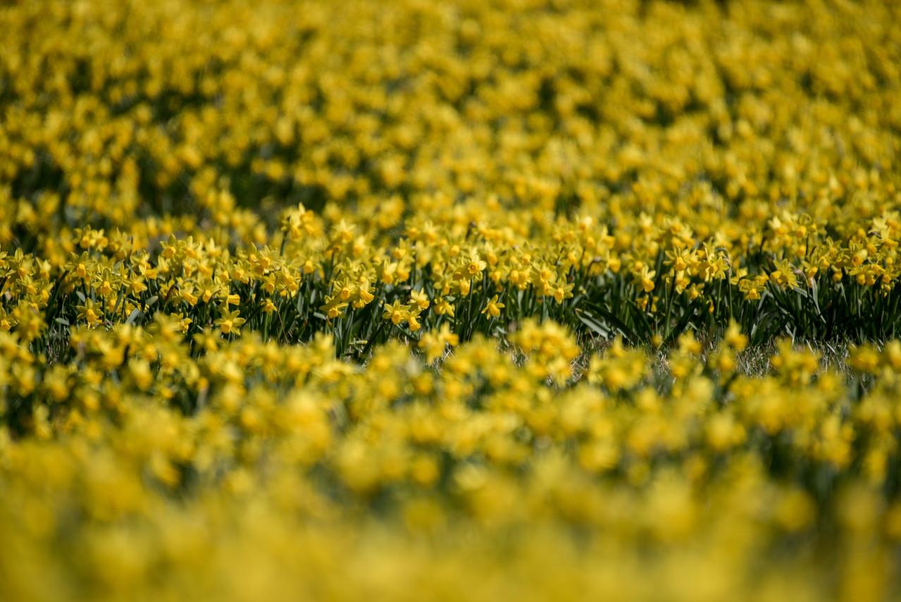 3-22-16  Tete a Tete Daffodils - Longwood Gardens-324