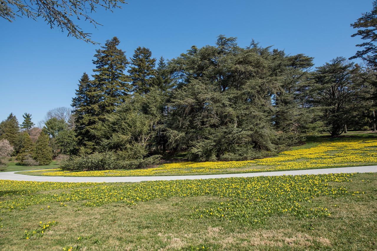 3-22-16  Tete a Tete Daffodils - Longwood Gardens-272