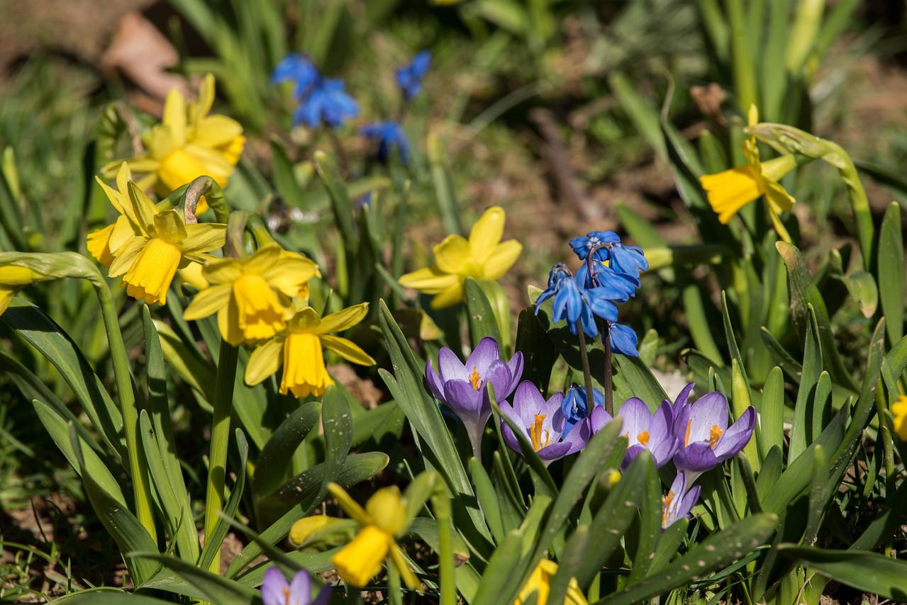 3-22-16 Geophytes - Oak Knoll - Longwood Gardens-9