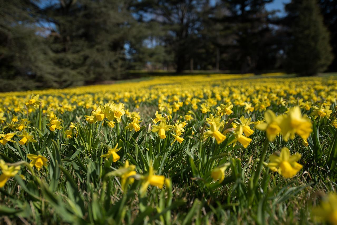 3-22-16  Tete a Tete Daffodils - Longwood Gardens-276