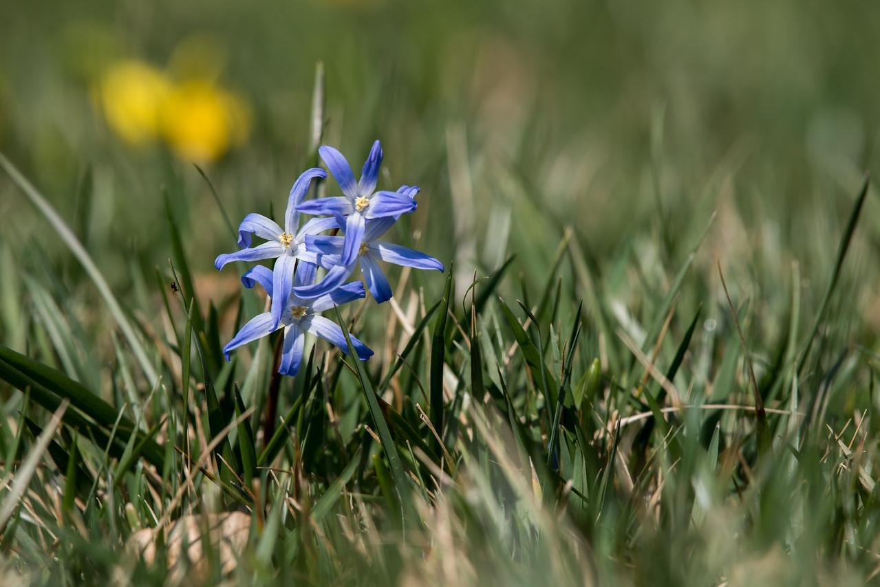 3-22-16 Scilla - Oak Knoll - Longwood Gardens-2