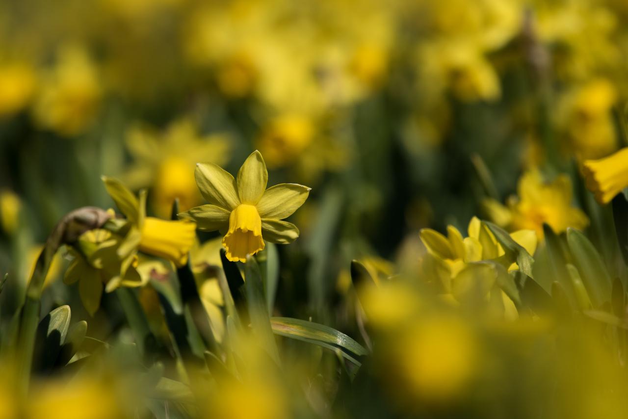 3-22-16  Tete a Tete Daffodils - Longwood Gardens-331