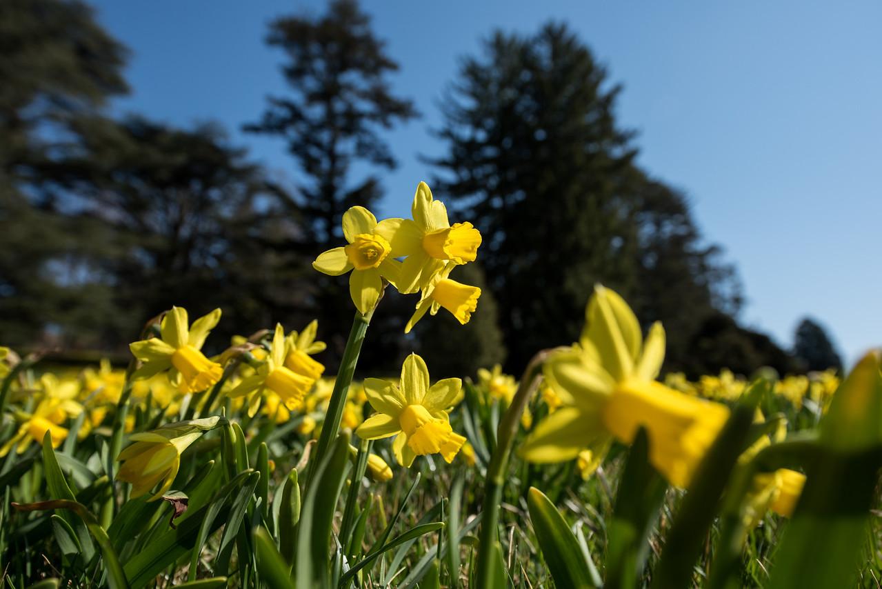 3-22-16  Tete a Tete Daffodils - Longwood Gardens-300