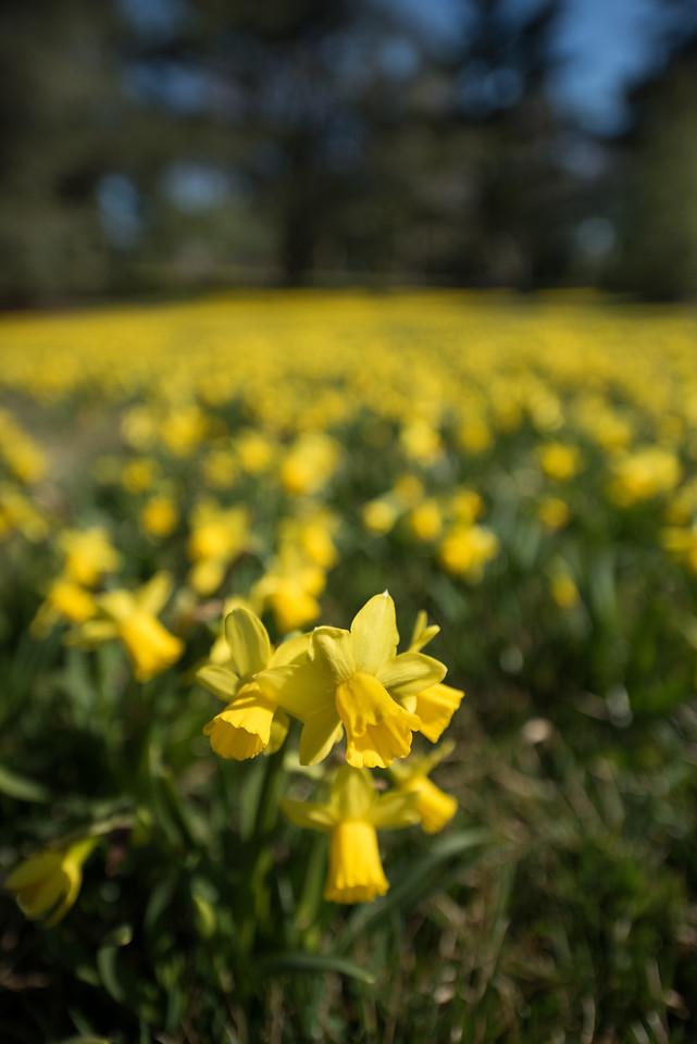 3-22-16  Tete a Tete Daffodils - Longwood Gardens-289