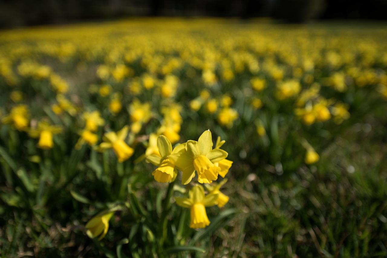 3-22-16  Tete a Tete Daffodils - Longwood Gardens-279