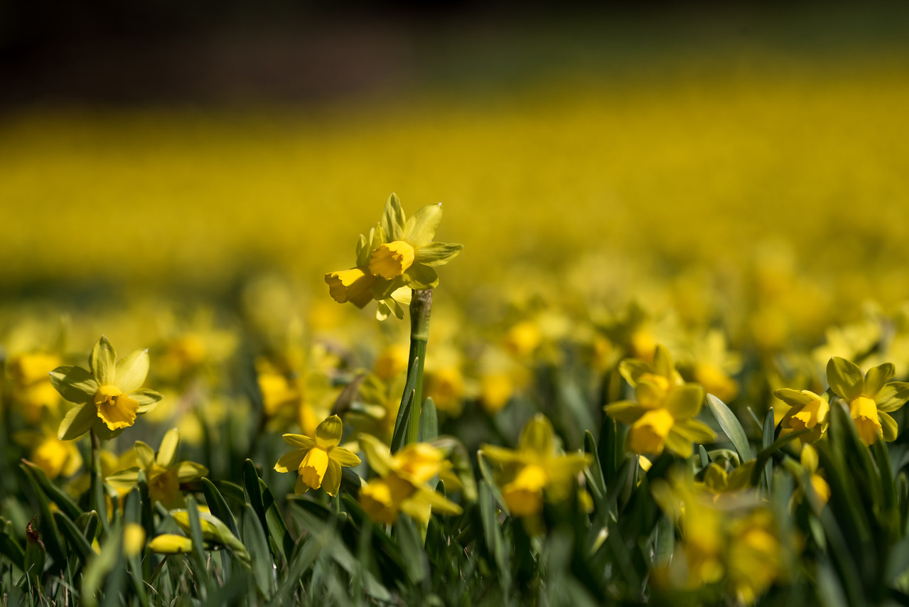 3-22-16  Tete a Tete Daffodils - Longwood Gardens-309