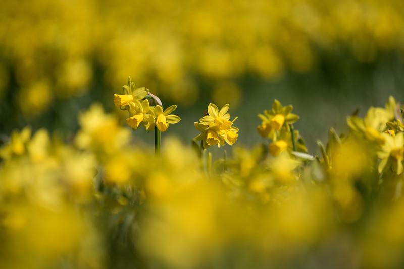 3-22-16  Tete a Tete Daffodils - Longwood Gardens-319