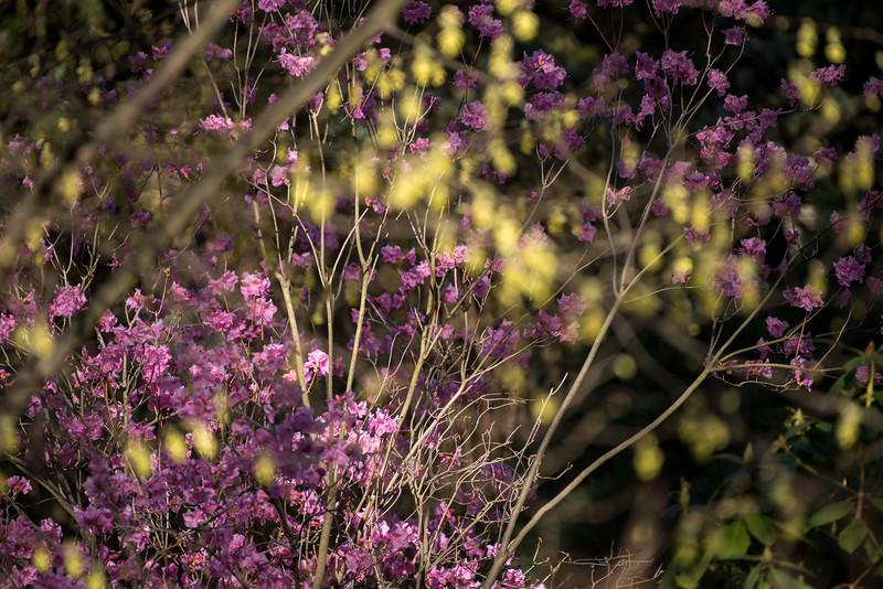 3-22-16  Rhododendron mucronulatum cv  Cornell Pink - Longwood Gardens-246