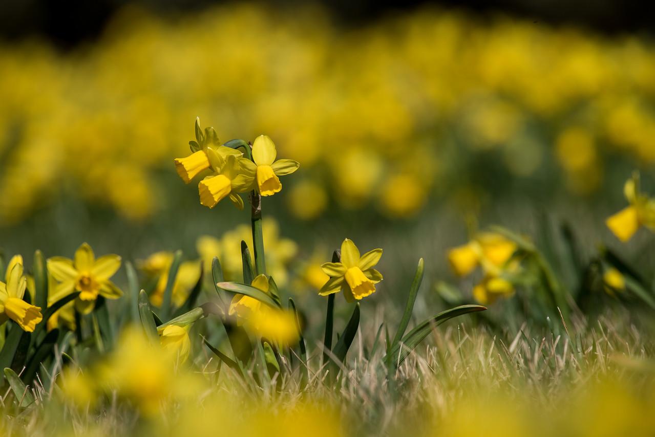 3-22-16  Tete a Tete Daffodils - Longwood Gardens-321