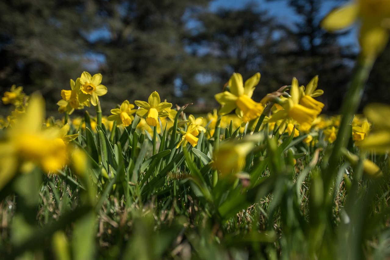 3-22-16  Tete a Tete Daffodils - Longwood Gardens-296