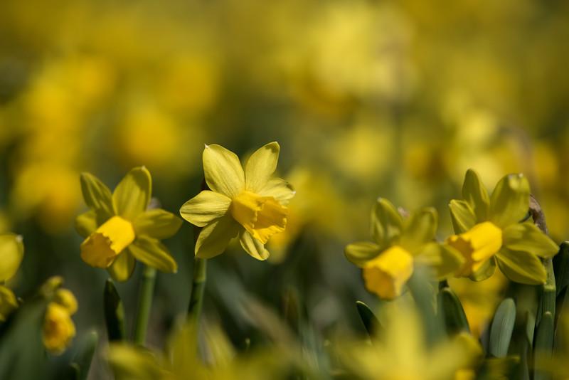 3-22-16  Tete a Tete Daffodils - Longwood Gardens-337