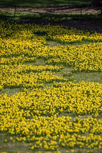 3-22-16  Tete a Tete Daffodils - Longwood Gardens-267