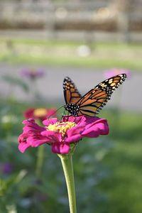 Butterflies IMG_8239