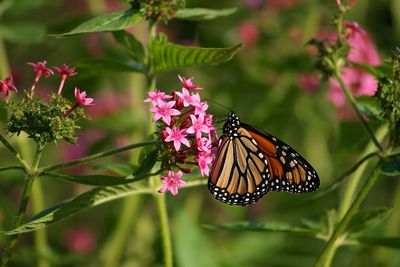 Butterflies IMG_7880