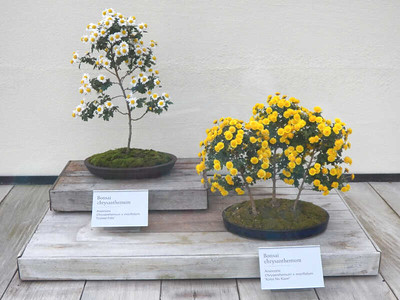 chrysanthemum bonsai, November 2013