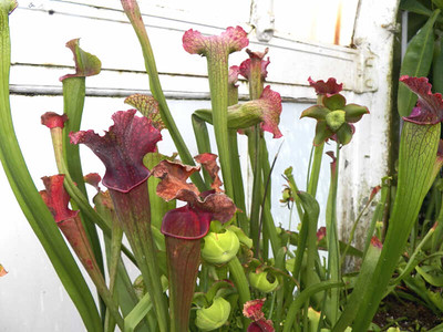 pitcher plants, November 2013