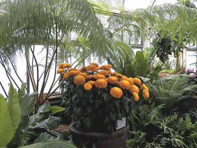 ferns and chrysanthemums, November 2013