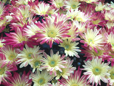 chrysanthemums, November 2013