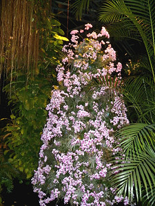 orchid tree, Tropical terrace