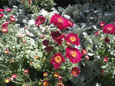 """Shock"" anemone chrysanthemum"