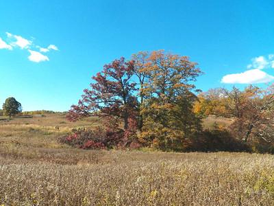 White Oak trees