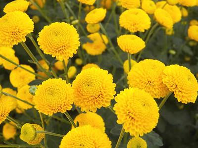 """Statesman"" Pompon chrysanthemum"