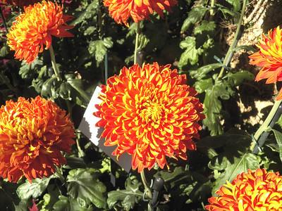 """""""indian Summer"""" chrysanthemum"""