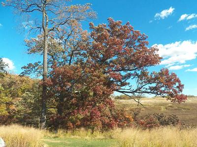200+ year-old White Oak