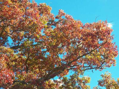 White Oak foliage