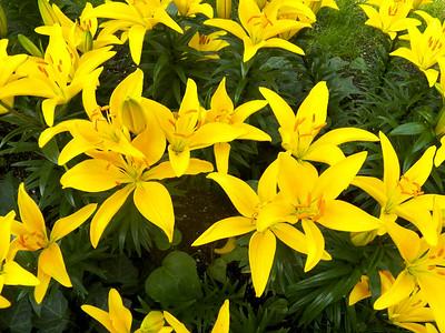 Asian Hybrid Lily