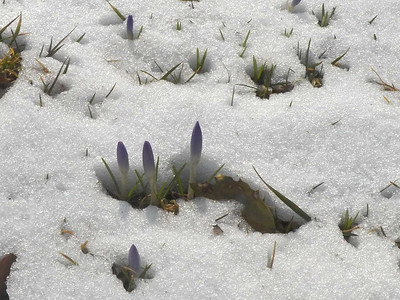 crocuses coming through snow