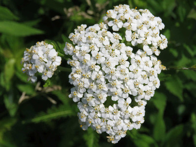 yarrow in the Meadow Garden