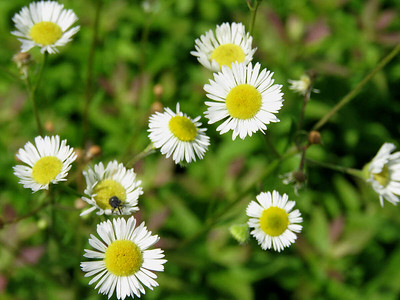 fleabane, possibly Robin's Plantain/Eastern Fleabane,  the Meadow Garden