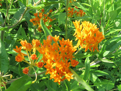 Butterfly-weed in the Meadow Garden