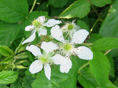 blackberry blossoms, The Meadow Garden