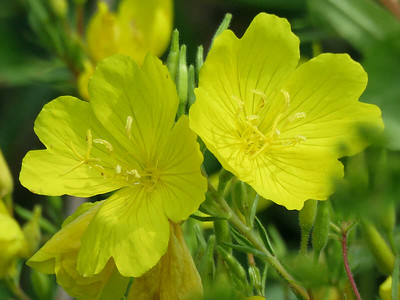 Common Evening-primrose in The Meadow Garden