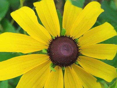 Black-eyed Susan in the Meadow Garden