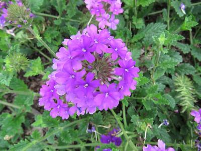 Verbena, Flower Garden Walk
