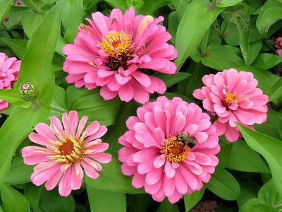 zinnias, Flower Garden Walk